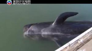 佛州28头死领航鲸惊现海滩