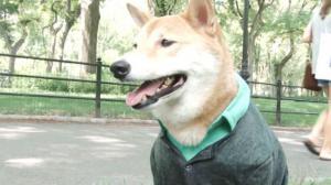 纽约宠物狗穿男装走红网络 亚裔主人:它天生就是模特!