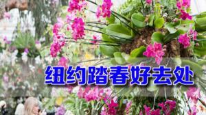 千株兰花争相绽放 纽约植物园兰花展感受春天