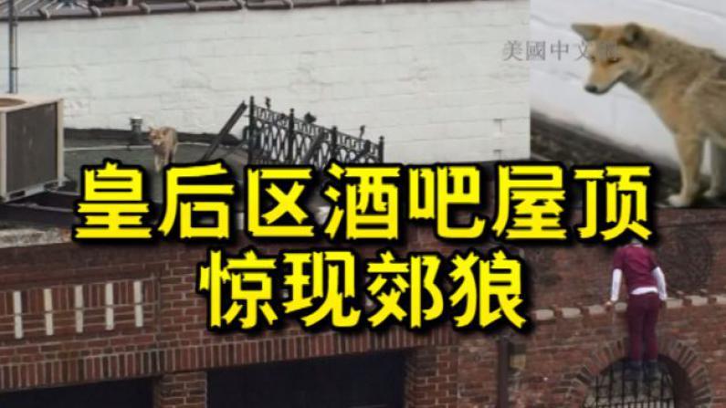 纽约皇后区一酒吧屋顶惊现郊狼 疑似曾被人饲养