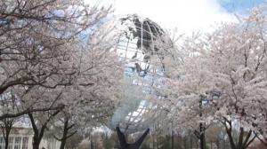 落英飞舞 樱花大地球仪相呼应  皇后区可乐娜公园赏樱正当时