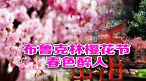"""布鲁克林植物园樱花节登场 满园春色落""""樱""""缤纷"""