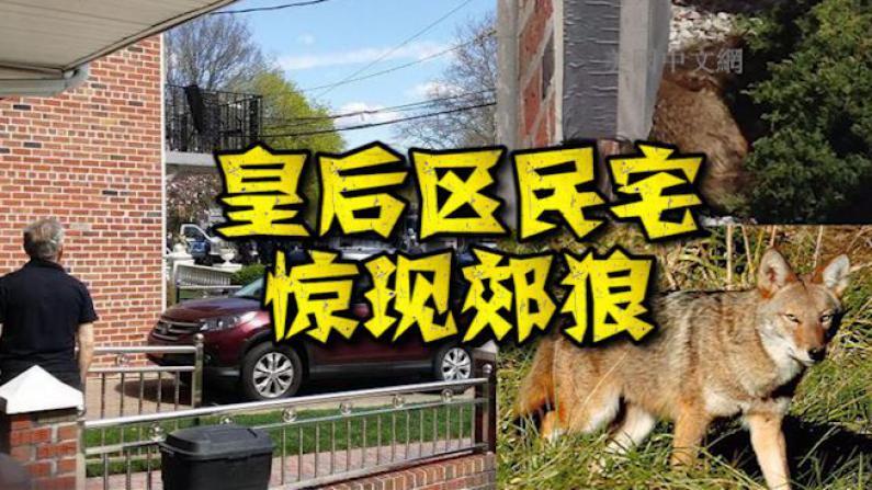 纽约皇后区居民楼竟有狼出没!市区频现郊狼民众需提防