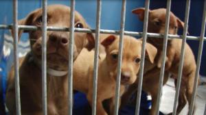 休斯敦流浪猫狗数量疯涨 动物收容所爆满
