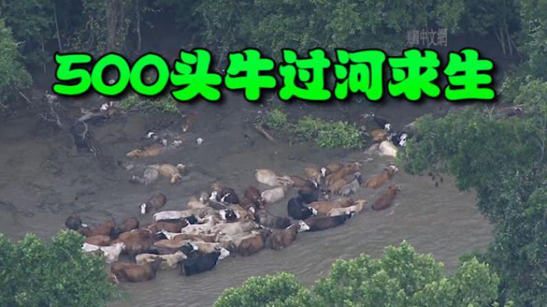 壮观!德州洪灾致500头牛被迫渡河逃离 西部牛仔勇敢守护