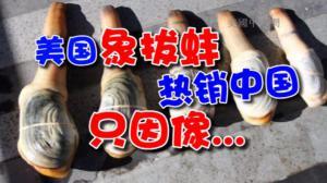 美国象拔蚌热销中国 食客追捧只因外观性感能壮阳