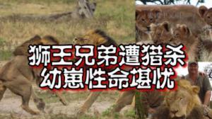 津巴布韦狮王弟弟惨遭猎杀 狮王幼崽命运堪忧