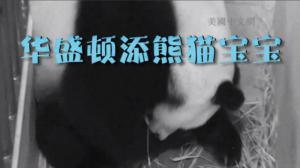 华盛顿动物园新生熊猫为雄性  目前状况良好健康好动