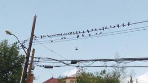 法拉盛鸽子泛滥卫生成问题 居民苦不堪言