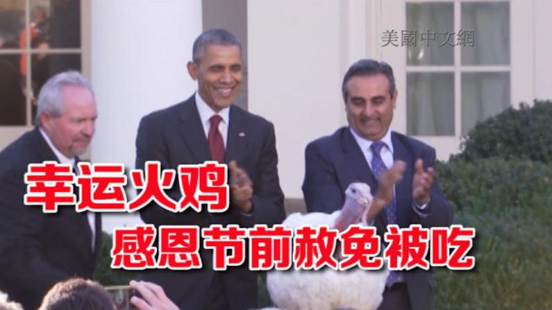 """感恩节前夕奥巴马赦免火鸡  笑言符合""""第二次机会""""美国精神"""
