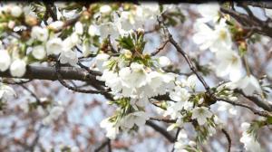 阳春三月 可乐娜公园樱花初绽