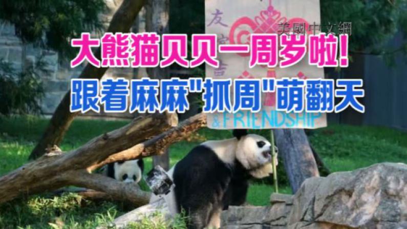 大熊猫幼崽贝贝周岁抓阄 崔天凯大使寄美好祝愿