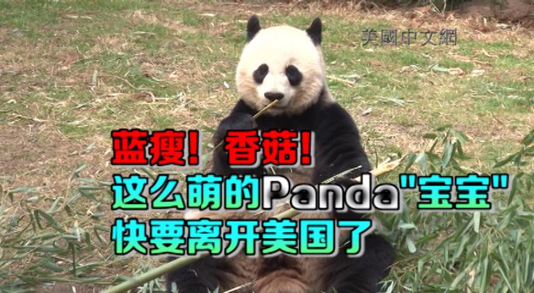 """华盛顿国家动物园明星大熊猫""""宝宝""""即将归还中国"""