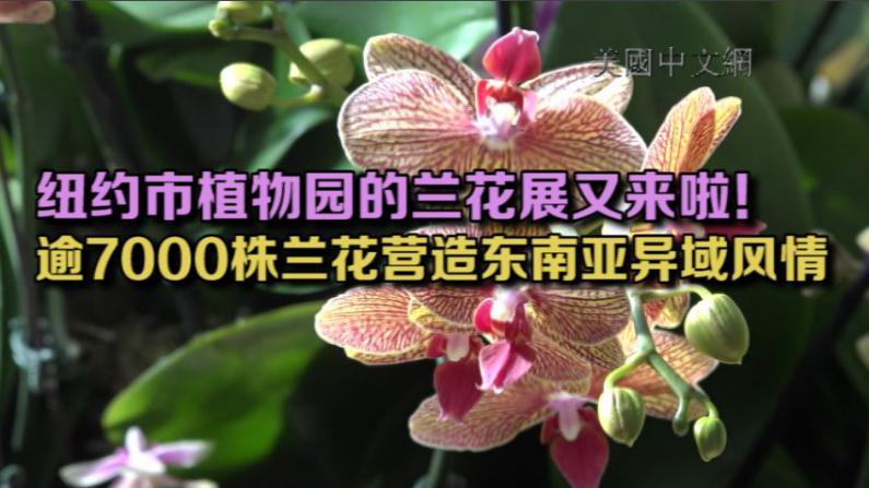 纽约市植物园举办第十五届兰花展 逾7000株兰花营造东南亚异域风情