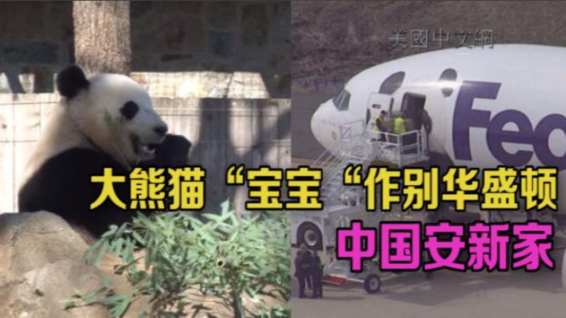 """大熊猫""""宝宝""""作别华盛顿  中国安新家"""