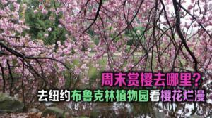 又到樱花烂漫时 纽约布鲁克林植物园樱花节抢先看