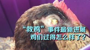 """""""救鸡""""事件最新进展 鸡们过得怎么样了?"""