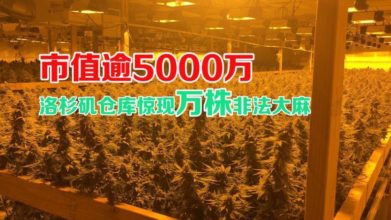 洛杉矶警方仓库查获一万六千多棵非法种植大麻  市值逾5000万