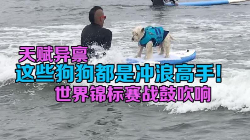 汪星人加州海滩争冠 这些狗狗各个都是冲浪高手!