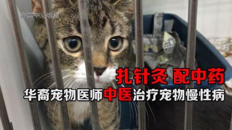 扎针灸 配中药  华裔宠物医师中医治疗宠物慢性病
