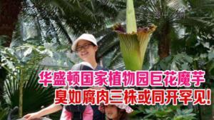 华盛顿国家植物园巨花魔芋  臭如腐肉三株或同开史上罕见!