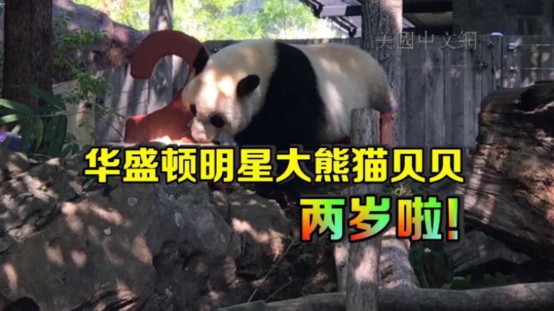华盛顿国家动物园大熊猫贝贝两岁生日 吃蛋糕嚼竹子卖萌惹人爱