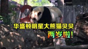 华盛顿国家动物园大熊猫贝贝两岁生日 吃蛋糕嚼主子卖萌惹人爱