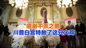 感谢不杀之恩 川普白宫特赦了这只火鸡