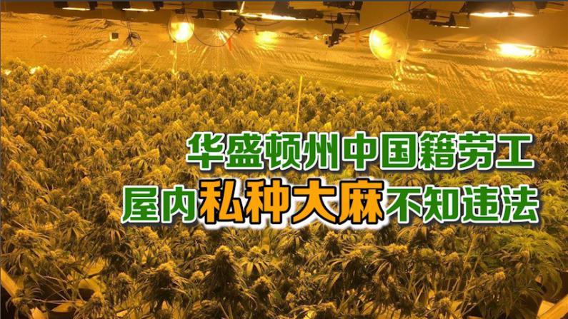 涉非法种植大麻 49名中国人华盛顿州被捕