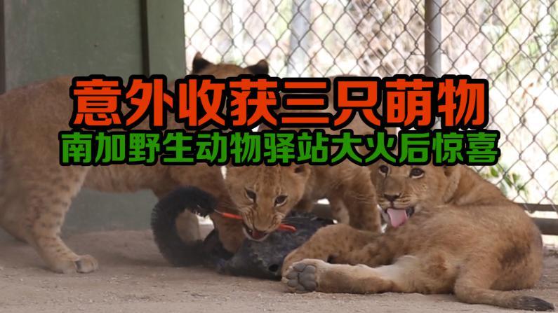 南加州大火后 野生动物驿站喜获三头幼狮