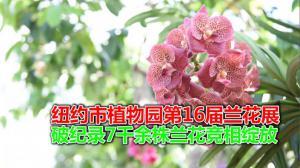 纽约市植物园第16届兰花展  破纪录7千余株兰花竞相绽放