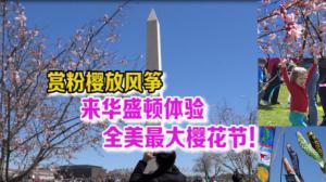 赏粉樱放风筝,来华盛顿体验全美最大樱花节!