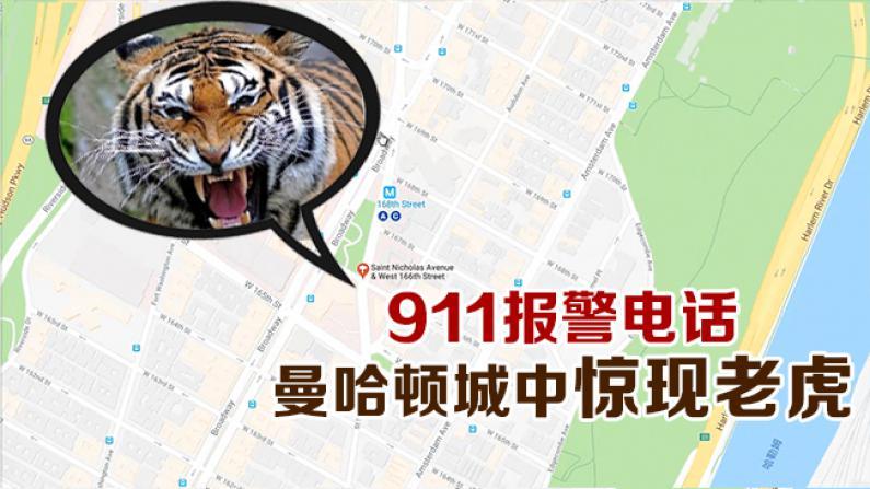 911报警电话 曼哈顿城中惊现老虎
