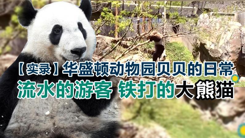 【实录】华盛顿动物园贝贝的日常  流水的游客铁打的大熊猫