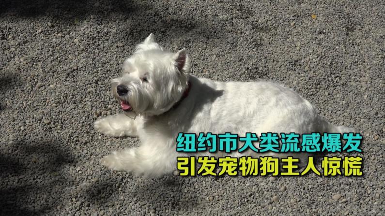 纽约市犬类流感爆发  引发宠物狗主人惊慌