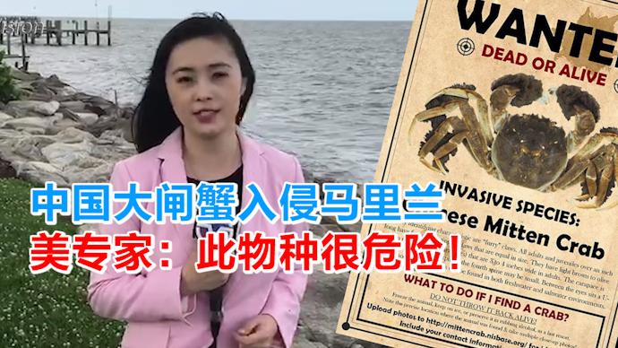 中国大闸蟹入侵马里兰 美专家:此物种很危险!