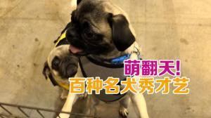 休斯敦世界名犬展 百余种名犬才艺大比拼