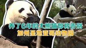 养了6年的大熊猫即将告别 加州圣地亚哥动物园