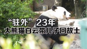 大熊猫白云小礼物回中国 圣地亚哥动物园为期三周欢送