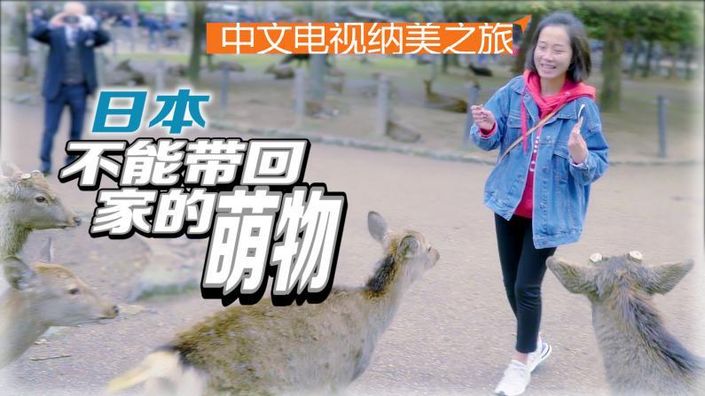 日本:一休和尚与萌化神鹿