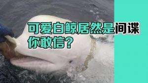 可爱白鲸居然是间谍 你敢信?