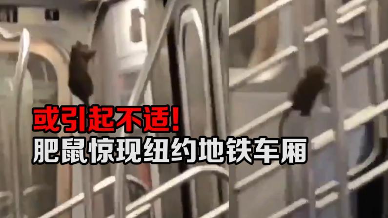 或引起不适! 肥鼠惊现纽约地铁车厢