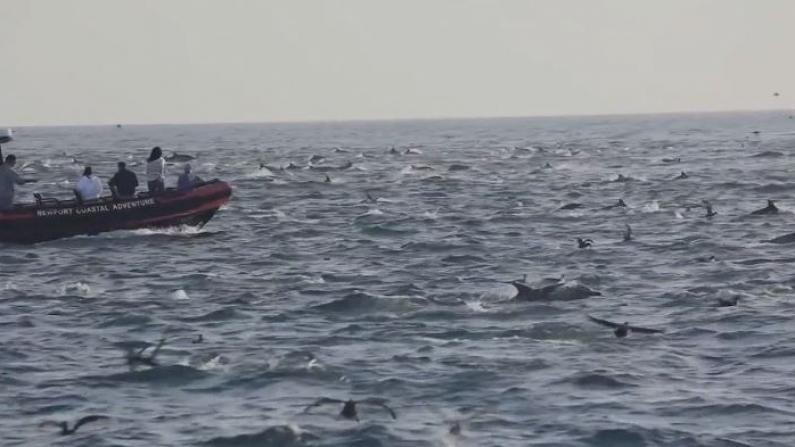 你肯定没见过!千只海豚罕见共舞
