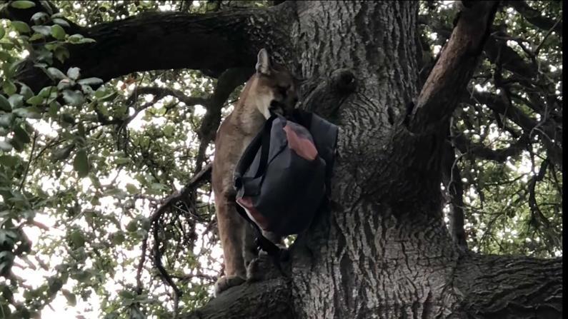 山狮袭击3岁男孩!父亲扔包反击