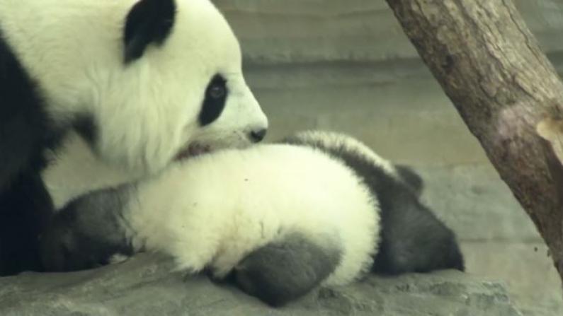 德国大熊猫双胞胎降生后 首次公开亮相
