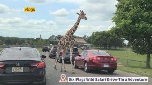 【Derek在纽约】车窗外走过长颈鹿!我们来野生动物园玩啦