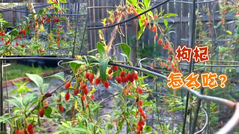 【Lisa的菜园】枸杞丰收啦!来分享几个枸杞食谱