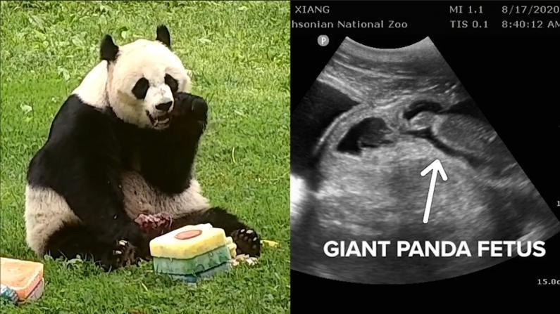华盛顿22岁大熊猫美香疑似怀孕 即将诞下第四胎!