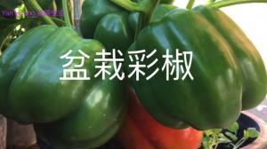 【广东阿姨】没有地?青椒彩椒辣椒 用盆栽也能种得好
