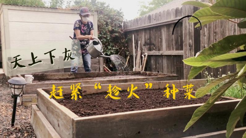 【美天一报】播种黄金季 怎么种菜最快速有效率?